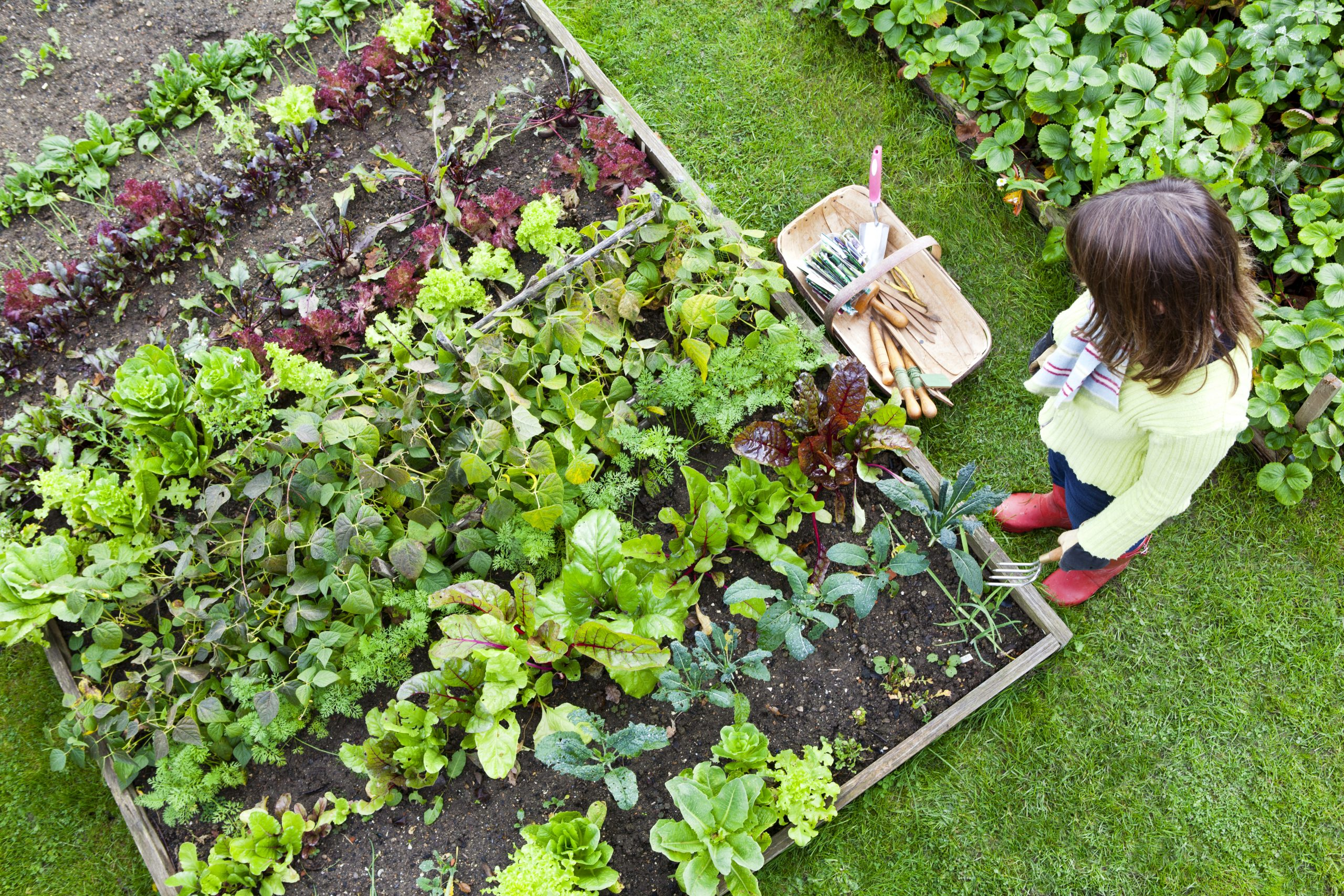 Woman looking down at an organic raised bed vegetable garden, holding weeding fork.