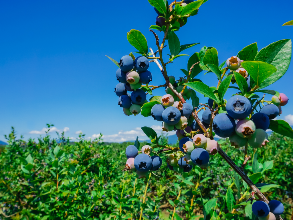 20210519 - Blueberries size2